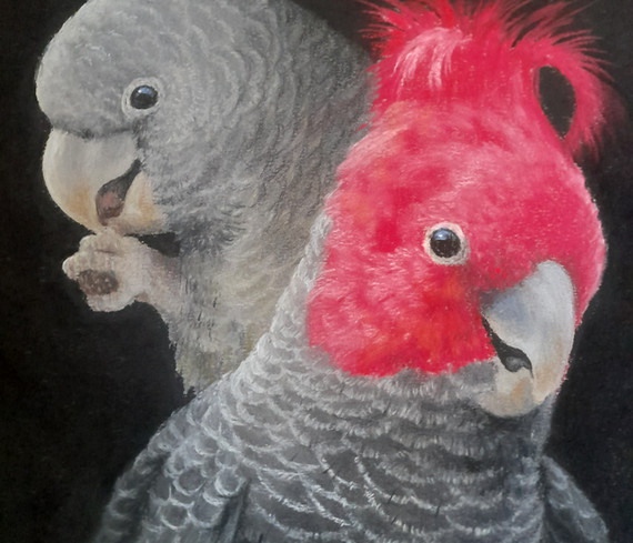Gang Gang Cockatoo by Sue Gasser