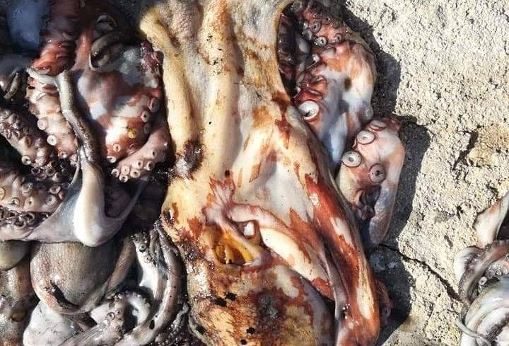 Hobotnica očišćena