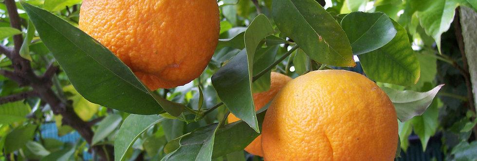 Naranča domaća nešpricana