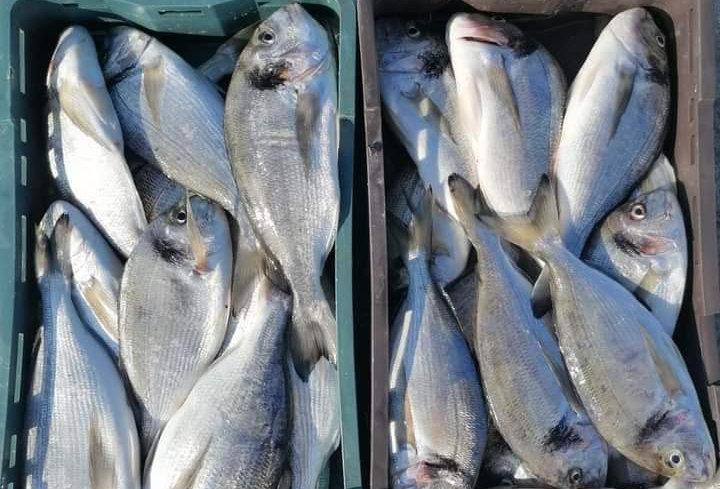 Riba I klasa očišćena (Orada, Kavala, Sarag, Gof)
