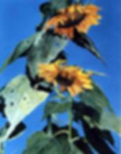 Backyard Sunflowers 2.jpg
