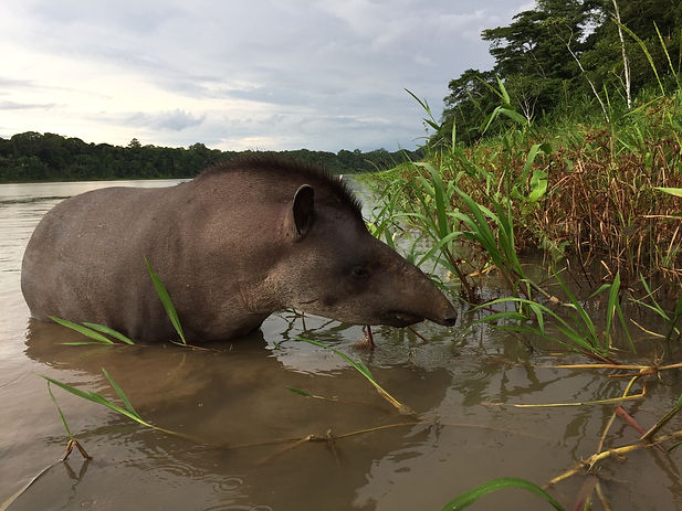 a tapir swimming in the pond on the Madidi Reserve in the Bolivian Amazon Jungle