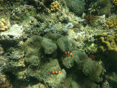 clownfish swimming in coral reefs in philippines el nido
