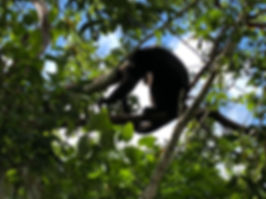 a howler monkey in the tree canopy in Tikal Ruins Nature Park in Peten Guatemala