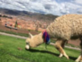 an alpaca eating some grass at a viewpoint of Cusco Peru