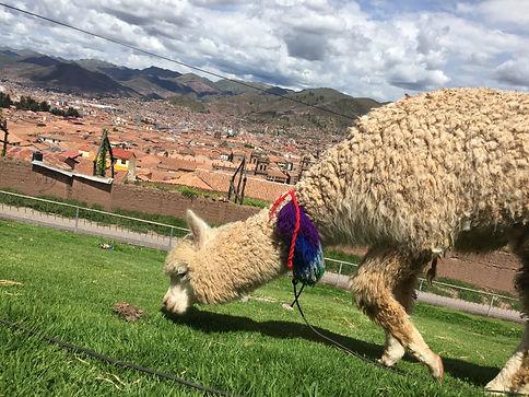 an alpaca eating some grass in Cusco Peru