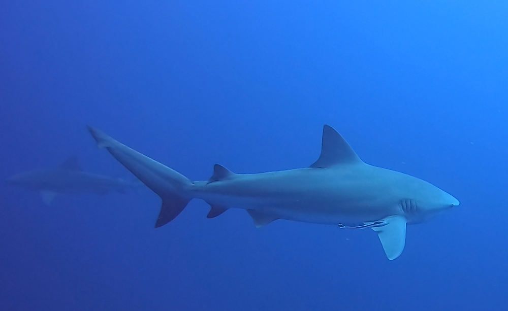 Two sharks swimming in a deep blue ocean as photographed by a scuba diver and travel blogger