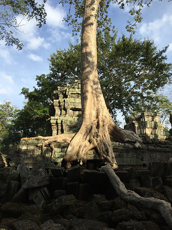 big tree overgrowing on the Angkor Wat in Siem Reap, Cambodia