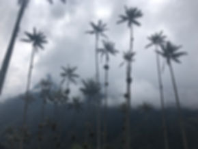 Wax Palms, hills and clouds on the Cocora Valley trek in Salento Colombia