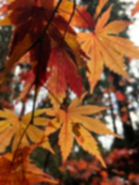 Autumn & fall leaves at Ninna-Ji Tempe in Kyoto Japan