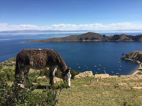 a cow eats grass on Isla del Sol in Lake Titicaca in Bolivia