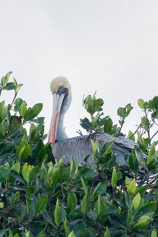 Pelican sitting in the mangroves in Celestun, Mexico on the Yucatan Peninsula