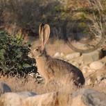 Young Jack Rabbit