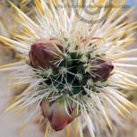 Cholla (Teddy Bear) Cactus Buds