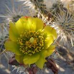 Cholla (Teddy Bear) Cactus Flower