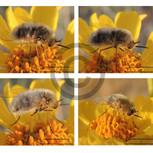 Bee Fly - Family Bombyliidae