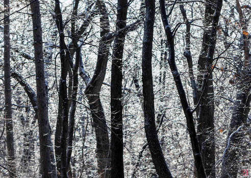 Frosted Forest