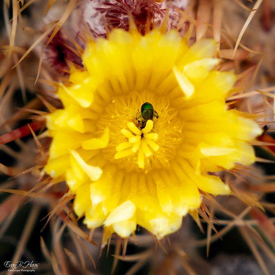 Desert Bee