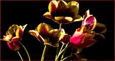 Tulpen_c.jpg