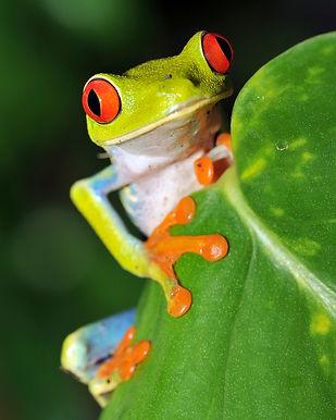 tree-frog-costa-rica.jpg