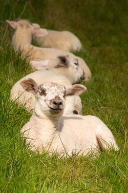 Spring Lambs - 2