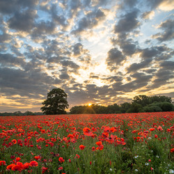 Poppy field at dawn