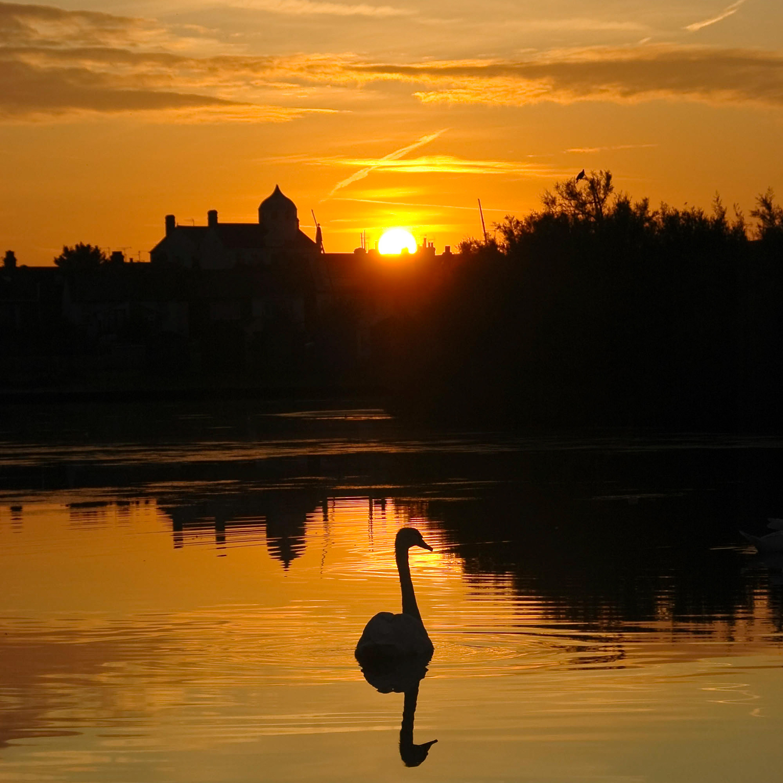 Swan at Dawn