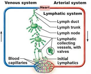 Lymphatic System overview