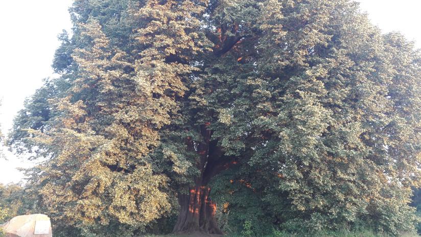 Wenn Bäume sprechen könnten... unter den Fittichen der weisen Anna-Linde.