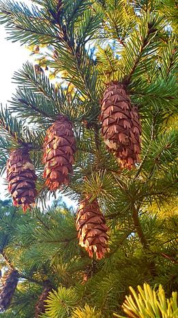 Kennst du alle unsere Nadelbäume und ihre Verwendungen?