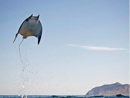 ים קורטס : הדג המעופף Mobula Ray