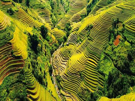 שדות האורז של ויטנאם