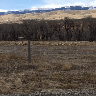 See some rams in the area