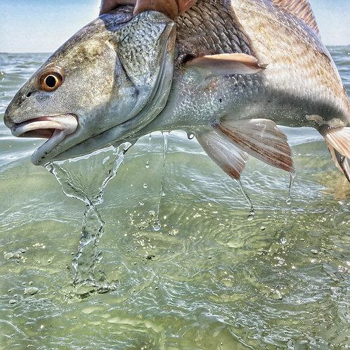 8x8 Print of Redfish