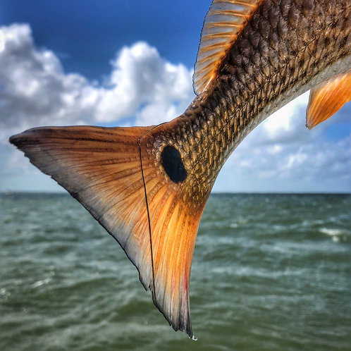 8x8 Redfish Tail Print