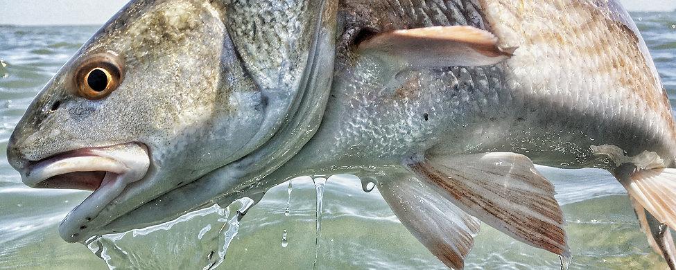redfishbanner.jpg