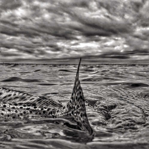 8x8 Black & White Print of Speckled Trout Tail