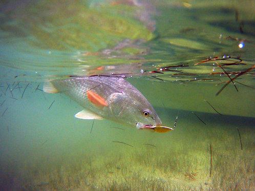8x10 Print of Redfish Underwater2