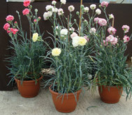 Growing your own Carnations?