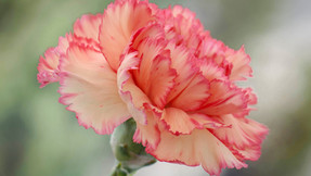 Why grow Carnations?
