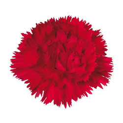 Turbo a scarlet red carnation with highly serrated petals