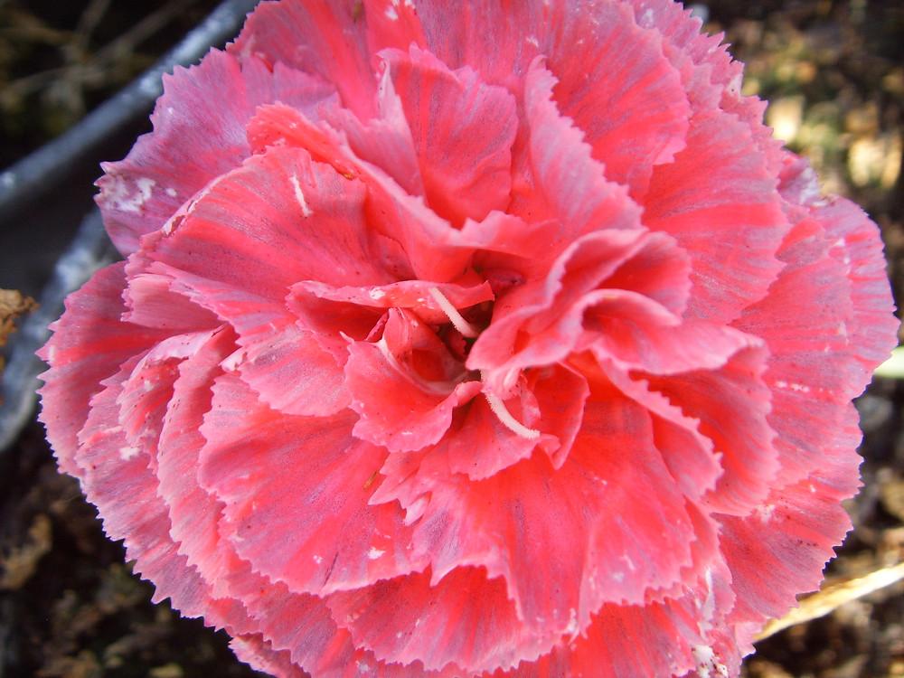 Flower Showing Thrip damage