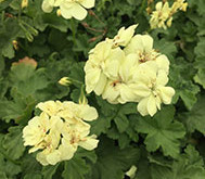 A NEW Pelargonium launching this Autumn & it's yellow flowering...