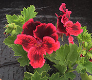 Easy to grow Pelargoniums…