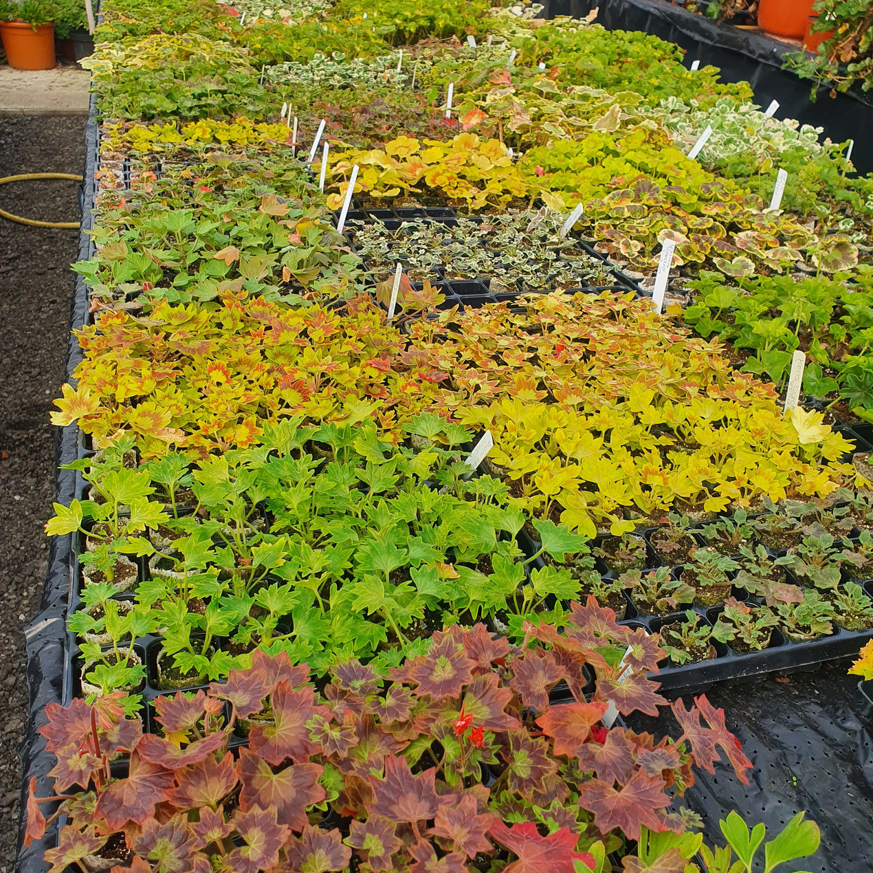 Plants grown for plant fairs