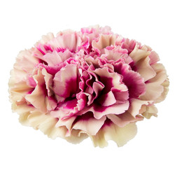 Loup an unusual cream flower with deep pink centre
