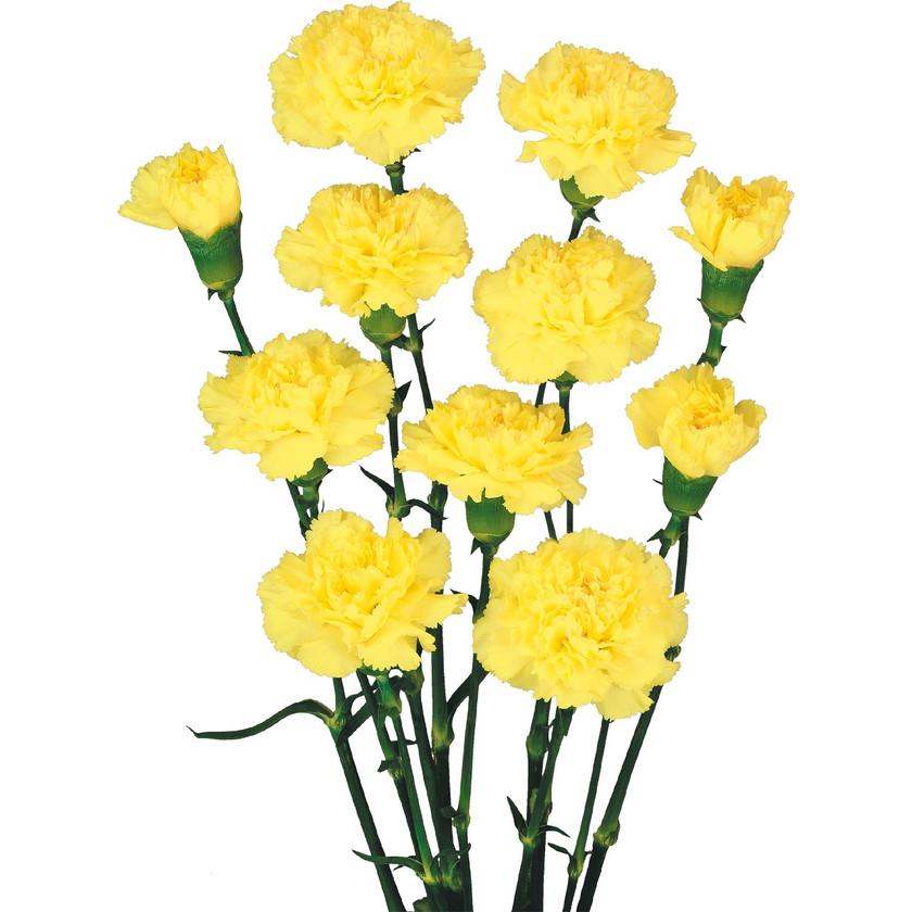 Spray Carnation Sonia