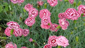 How to grow Garden Pinks