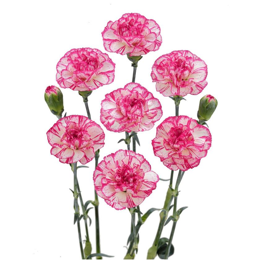 Spray Carnation Time