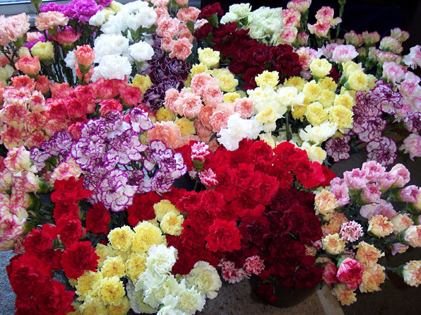 An array of colourful cut carnation blooms
